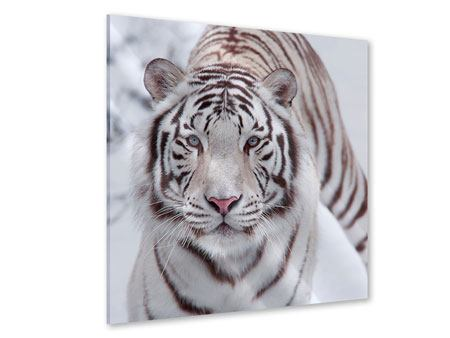Acrylic Print The King Tiger