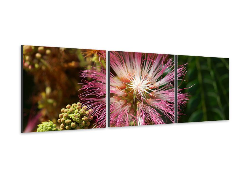 Panoramic 3 Piece Aluminium Print The Raintree Blossom